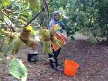 Fındık üreticilerine külleme hastalığı uyarısı