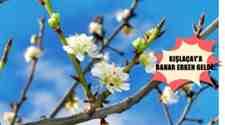 Kışlaçay Mahalesinde Baharın Müjdecisi Erikler Çiçek Açtı