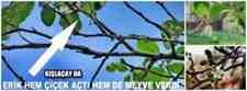 Kışlaçay da Erik Ağacı Kış Mevsiminde Meyve Verdi
