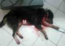 Mollaköy'de Hamile kızına saldıran köpeği tüfekle vurdu