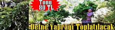 Orman İşletme Boğazköy'de Defne Yaprağı İçin Eleman Arıyor!!