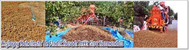Kışlaçay Mahallesin'de Fındık Hasadı Bitti Sıra Harmanda!!