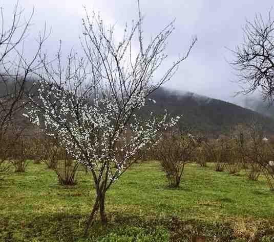 Kışlaçay'da Kış Ayına Rağmen,Ağaçlar Çiçek Verdi!!