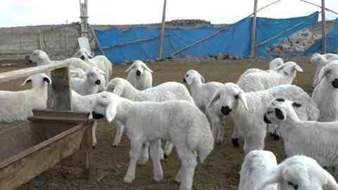 Hükümetten Teşvik Müjdesi 300 Koyun Ve Maaş Verilecek!!