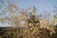 Kışlaçay Mahallesinde Fındık Yaprakları İçin Tırtıl Mücadelesi!!