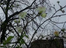 Kışlaçay da Ne Nisan Ne Mayıs Şubat ta Erikler Çiçek Açtı!