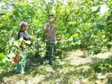 Fındık Tarımında Mevsimlik İşçilerle ilgili Eylem Planları Hazırlandı!