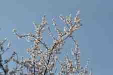 Kışlaçay Mahallesinde Erikler Çiçekler Açtı!