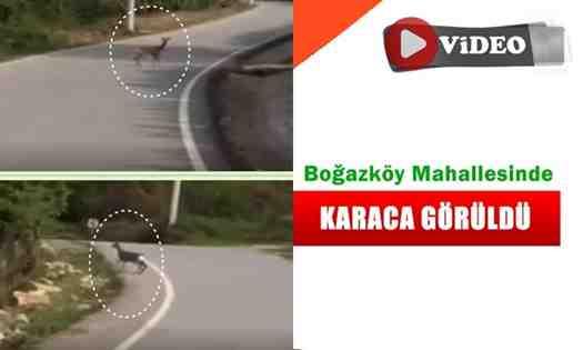 Arifiye İlçesi Boğazköy Mahallesin'de Karaca Görüldü!
