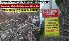 """Boğazköy'de Ihlamur Ağacını Kesenlere Sitem """"Seneye Ne Toplayacaksın"""""""