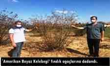 'Amerikan Beyaz Kelebeği' fındık ağaçlarına dadandı.