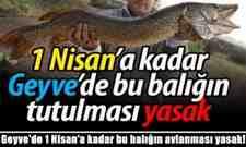 Geyve'de 1 Nisan'a kadar bu balığın avlanması yasak!
