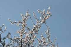 Kış ortasında ağaçlar çiçek açtı.