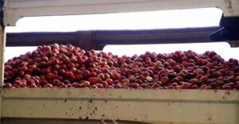 Geyve'de üretici perişan; Elma elde kaldı