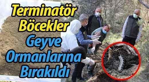 Terminatör böcekler Geyve ormanlarında..