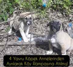 4 Yavru Köpek Annelerinden Ayrılarak Köy Rampasına Atılmış!