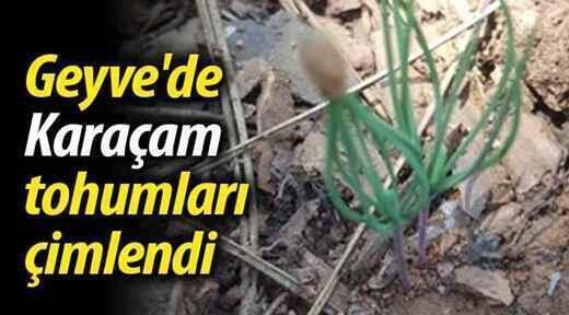 Geyve'de Karaçam tohumları çimlendi..