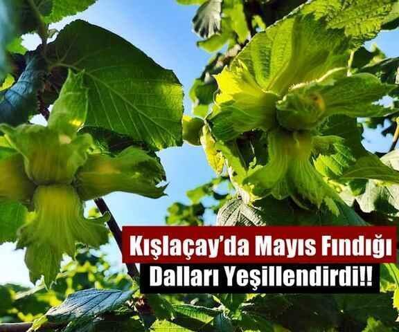 Kışlaçay'da Mayıs Fındığı Dalları Yeşillendirdi!!