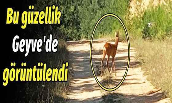 Geyve Ormanlarında Karaca Güzelliği..