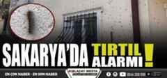 Eyvah Sakarya'da tırtıl alarmı!